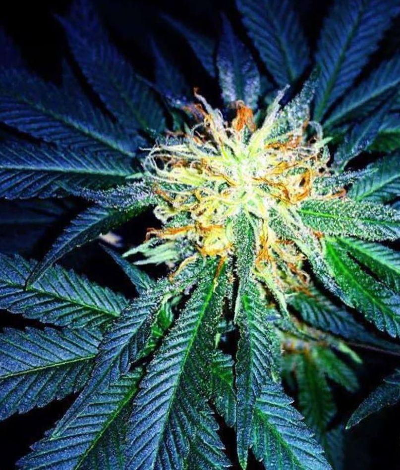 Afghani Kush marijuana strain photo