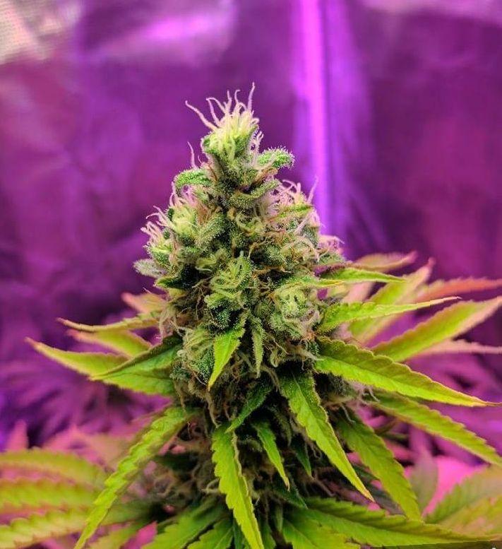 growing Bubba Kush weed