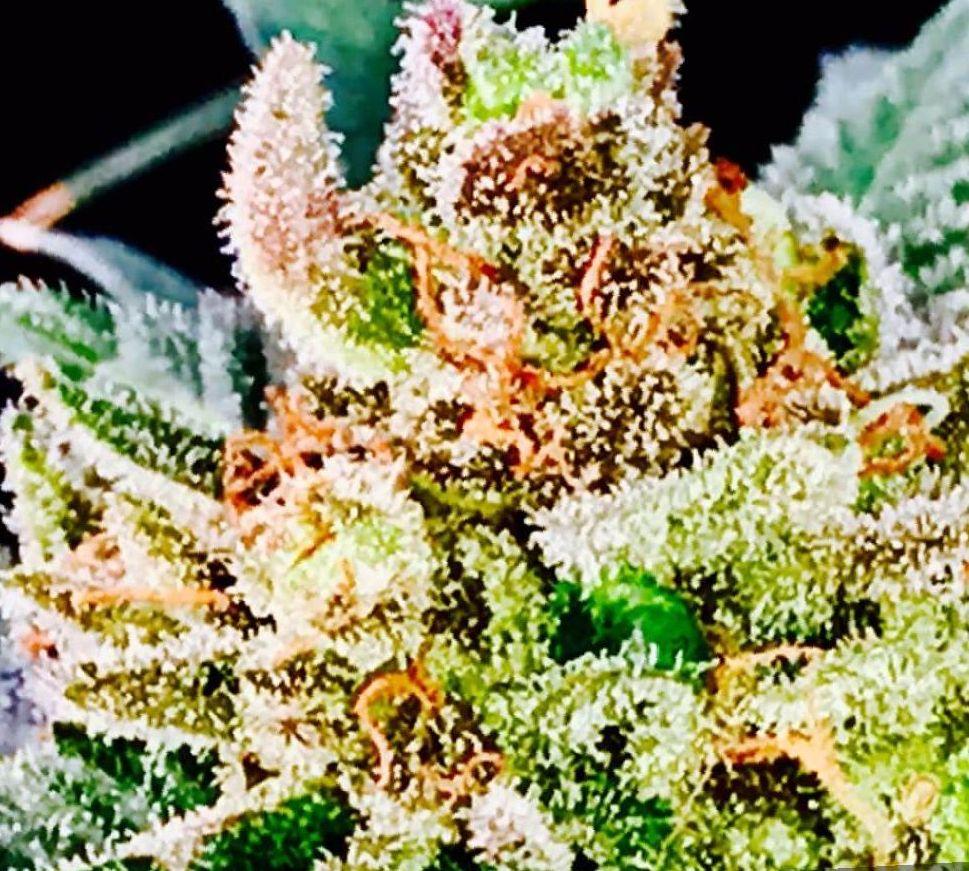 Cannabis Super Lemon Haze strain
