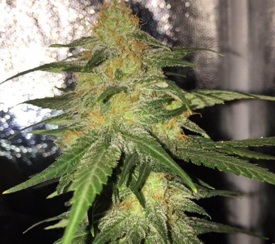Marijuana Bubblegum Strain