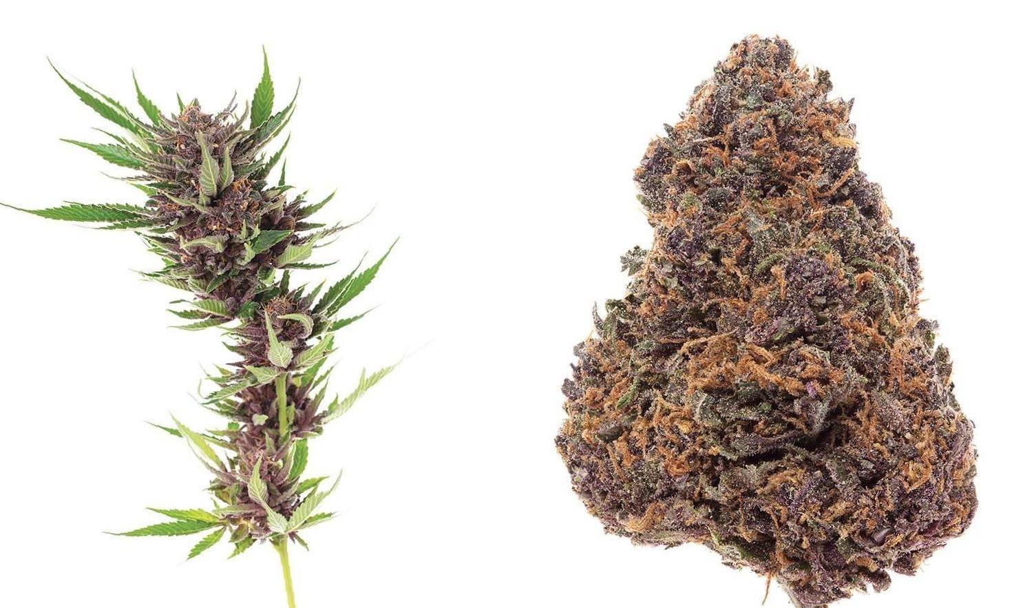 Forbidden Fruit Strain cannabis photo