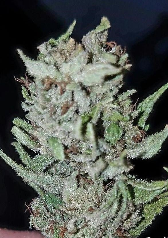Tangerine Dream Strain cannabis review