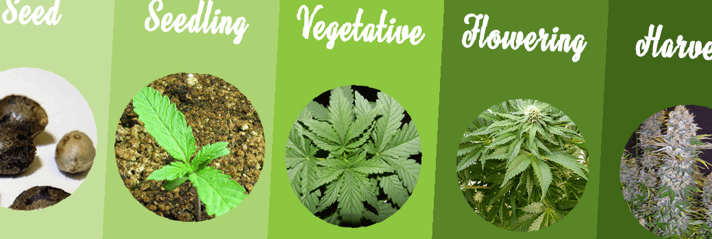 Marijuana Plant Stages