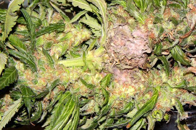 botrytis marijuana plants