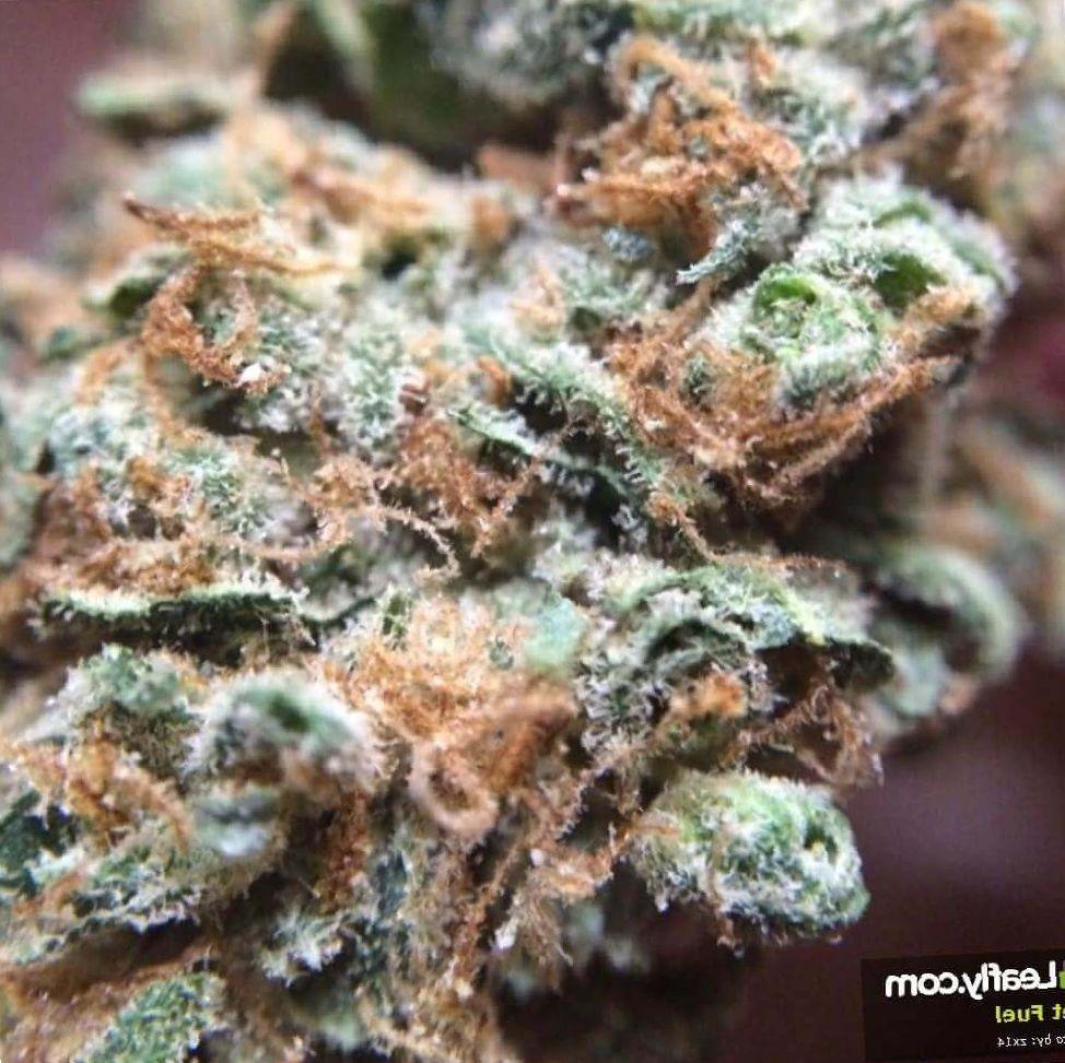 Jet Fuel marijuana growing